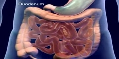 Animation of the digestive system