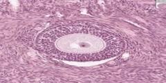 Ovary Histology