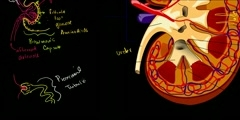 Functions of Kidney and Nephron