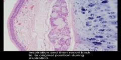 Histology Trachea Four Layers of Trachea