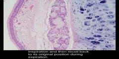 Histology Trachea Four Layers of Trachea