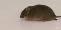 Mice memory test (Barnes memory test)