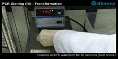 PCR Cloning (IV)- Transformation